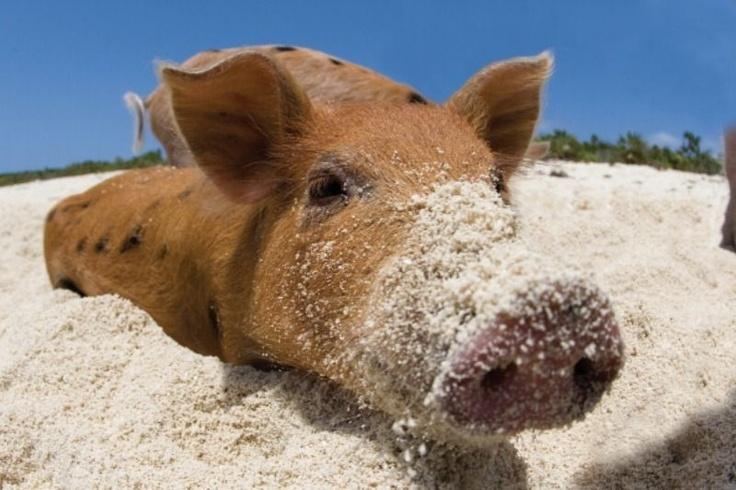 http://www.minivarkens.com/archief/news/De_zwemmende_biggetjes_van_de_Bahamas/Images/B2.jpg