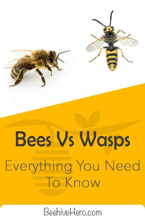 How Do You Tell Bees Apart From Wasps They Have Many Similarities In Behavior And Appearance So Click The Pin And Let S Have A Look At W Wasp Bee Wasp Stings