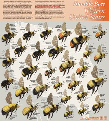 Order bumble bee identification posters for the east or west US.
