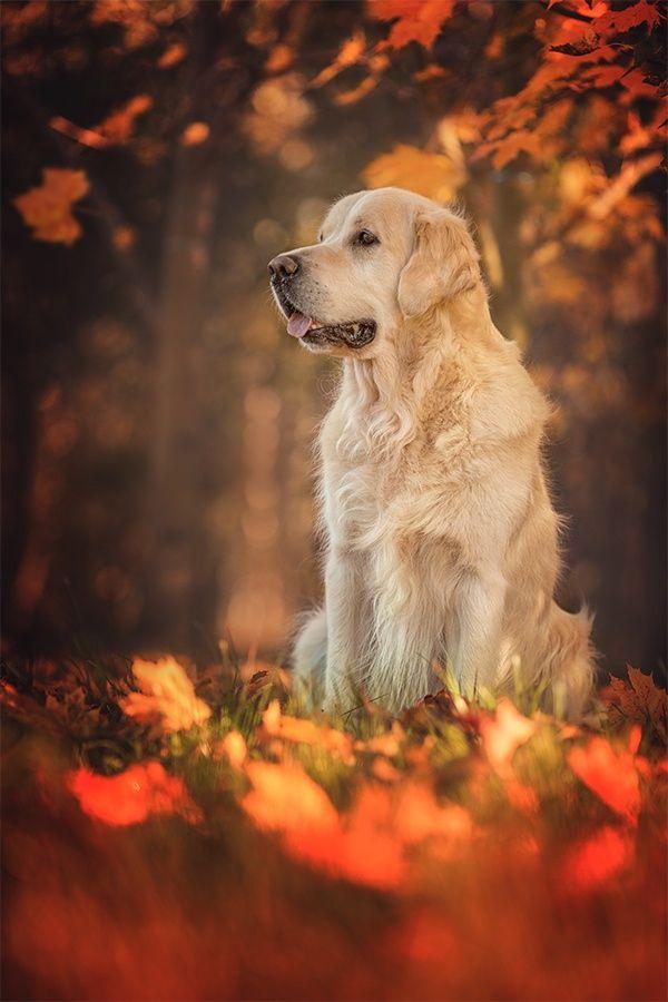 Autumn Colours Golden Retriever By Danny Block Foto Sobak