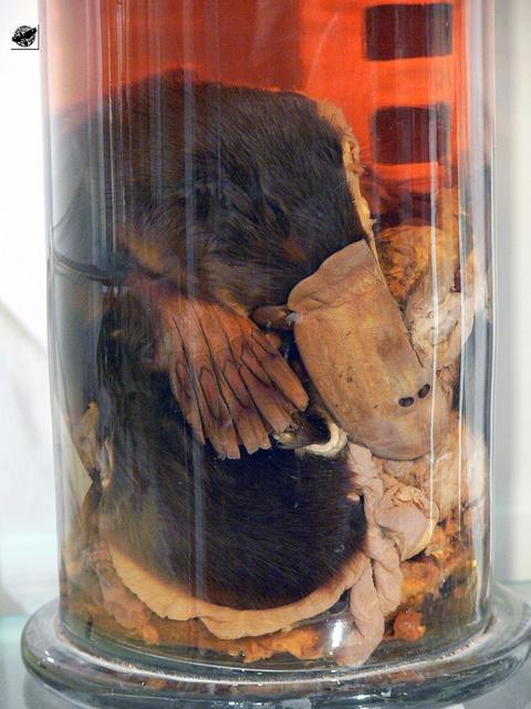 Kacsacsőrű emlős - Platypus, via Flickr.