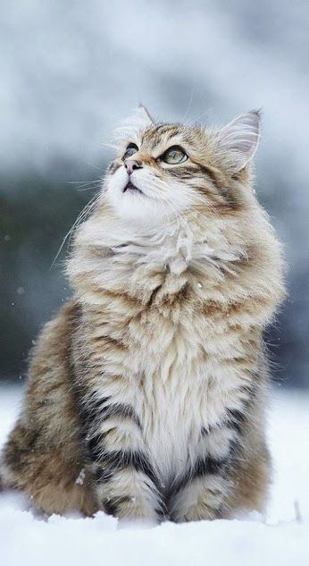 Maine Coon - this looks like Hooch (except that Hooch would never be caught sitting peacefully OUTSIDE                                                                                                                                                     Mehr