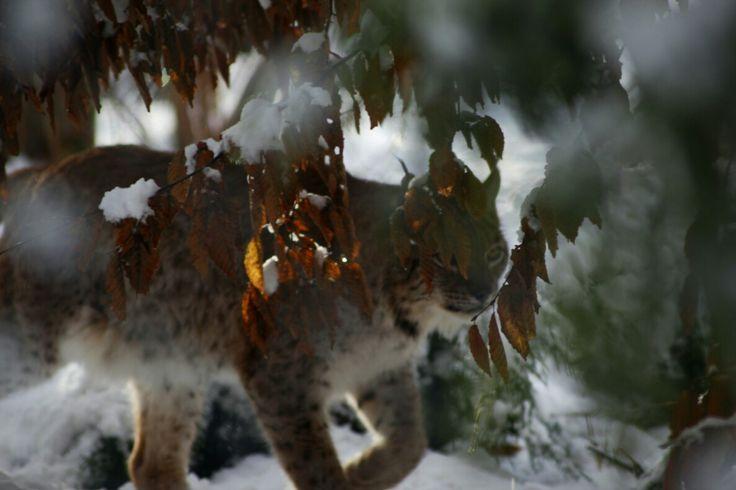#wildlife, #animals, # wildcat, #winter,#nature, #outdoorlife