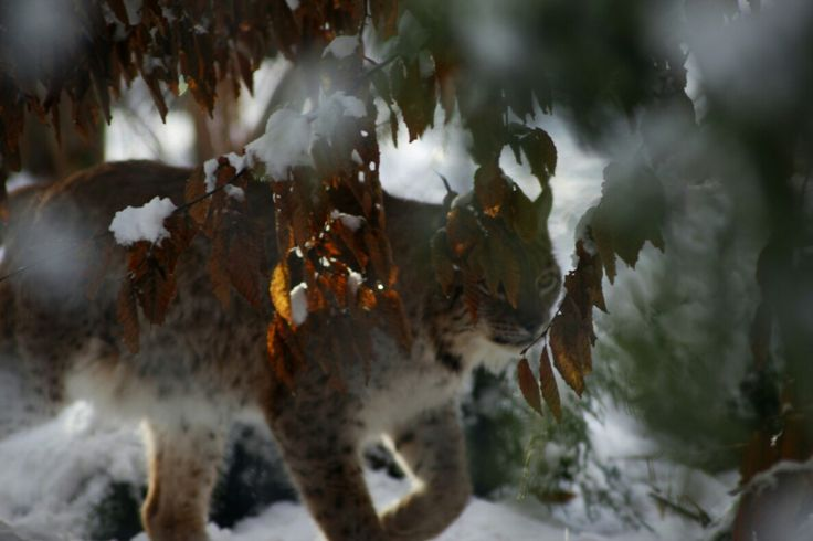 #wildlife, #animals, # wildcat, #winter,#nature, #outdoorlife
