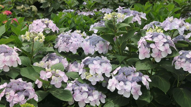 Lacecap Hydrangeas: These elegant shrubs are show-stoppers in the landscape. The sterile outer florets circle the perimeter of the flower, leaving the fertile florets on display for pollinators. Newer types are more carefree, flowering on both old and new wood. Prefers part sun to sun.