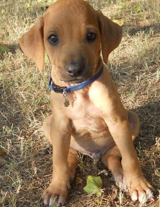 Red Nose Dogs For Sale Adelaide