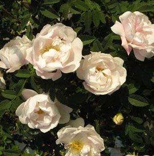 Midsommerbruden /Juhannusmorsian Pimpinellifolia Skuggtålig 120-150 cm försommar Zon 6 FRITIDSGRUND oerhört fin i sin blomsterskrud