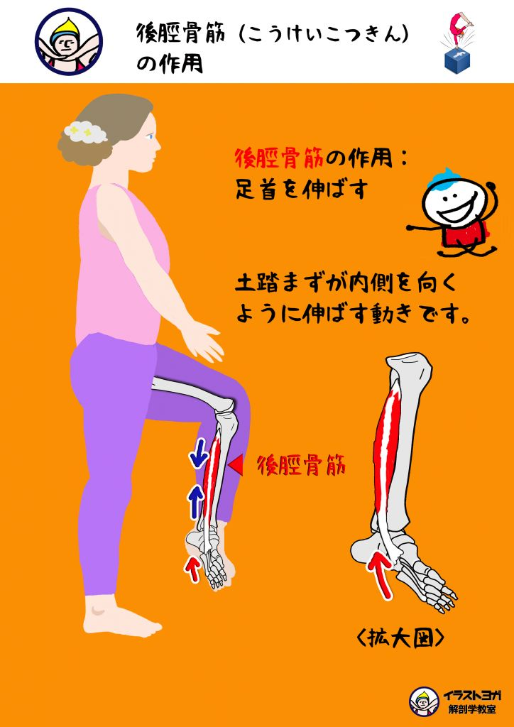 この筋肉は、名前から分かるように脛骨ケイコツの後ろについている筋肉です。前脛骨筋ゼンケイコツキンと対になる筋肉です。 この筋肉の作用は、 【足首を伸ばす】 です。 この筋肉は足の土踏まずについているので、土踏まずが内側を向けるように足首を伸ばす動きになります。 起始は、脛骨、腓骨の後面 停止は、足の裏(土踏まず部分 )です。