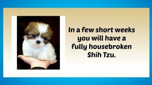 Shih Tzu Facts Shih Tzu Puppy Shih Tzu Training Your Puppy