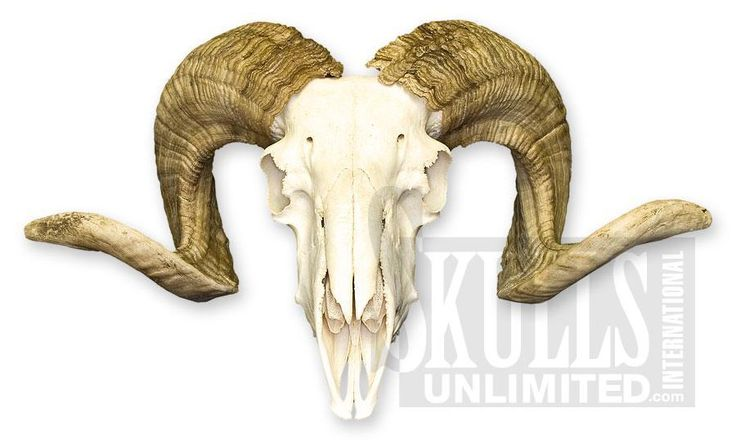 WANT............ WSM-390: Domestic Ram Skull (Natural Bone Quality A)