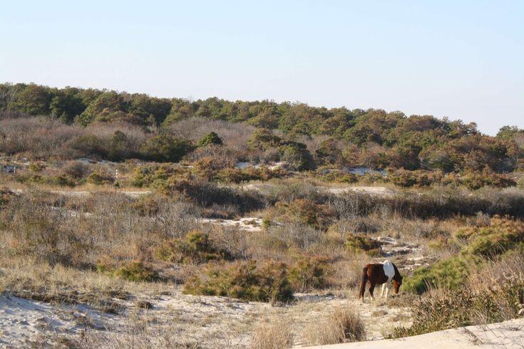 #assateague island #horse