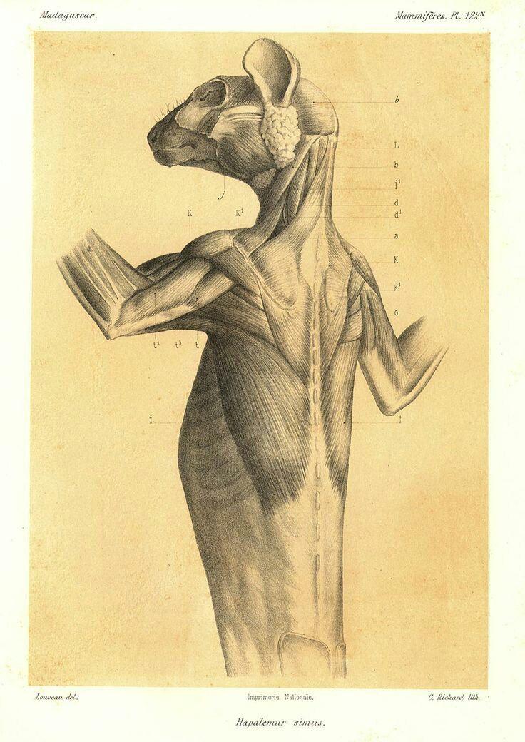 12 besten lemur Bilder auf Pinterest   Tieranatomie, Affen und Anatomie