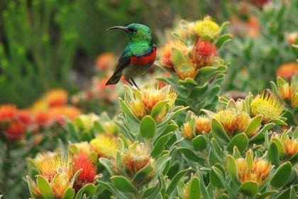Kirstenbosch Botanical Gardens, Cape Town, South Africa | SANBI