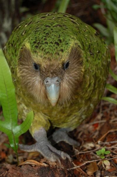 Sirocco, the kakapo - Awesome bird :)