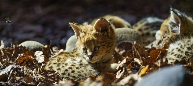 These serval kittens redefining our standards for fuzziness. | 44 Baby Animals Doing Baby Animal Things