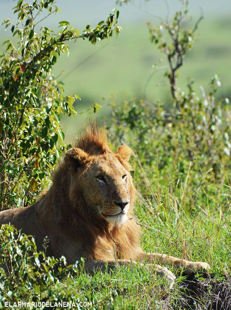 Lion king - Masai Mara - Kenya