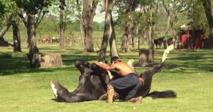 This video showcases 'horse yoga' at the Doma India School in San Luis, Argentina. This technique is used to tame wild or nervous horses wit...