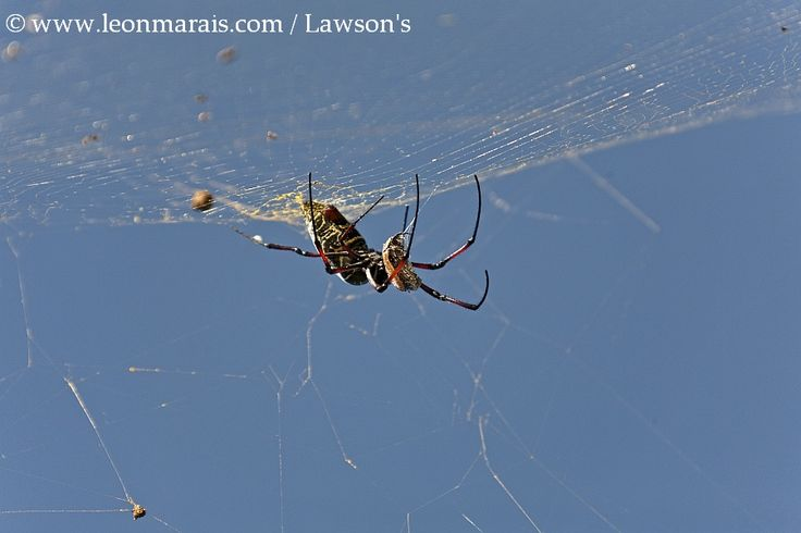 Golden Orb Spider eating a Fruit Chafer.