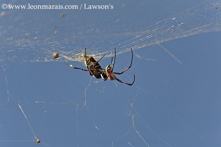 Golden Orb Spider eating a Fruit Chafer.