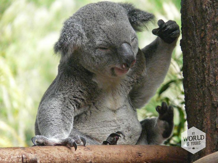 Zachte grijze velletjes, grote bruine ogen die meestal dicht zijn omdat ze slapen, en witte pluisoortjes. Als ze niet van die scherpe zwarte nagels hadden, had ik alle elf koala's die we zien achterin onze campervan geparkeerd. Lees over onze ontmoeting met de koala's op http://www.myworldisyours.nl/places/great-ocean-road #koala