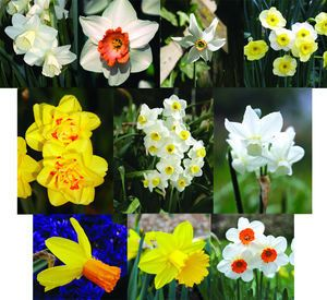 Brent and Becky's Daffodil Favorites -  Bulbs for sale