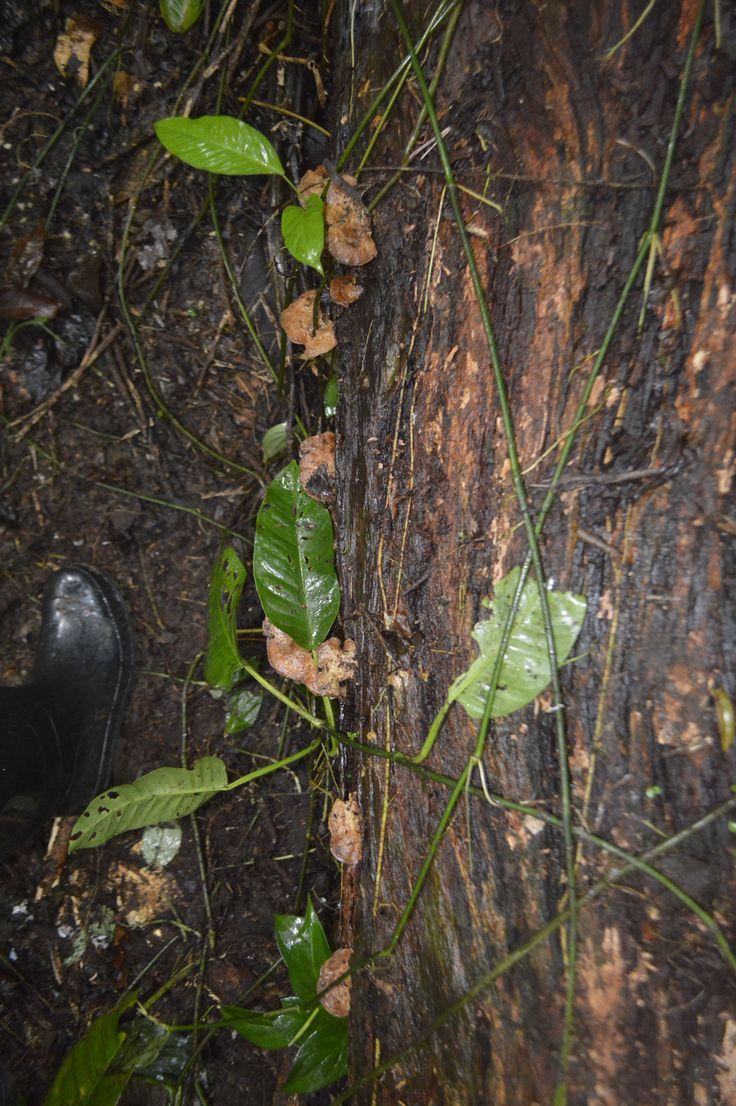 Hongos en la madera de los bosques de la Sede de Estudios Ambientales y Agroecológicos- Tulenapa