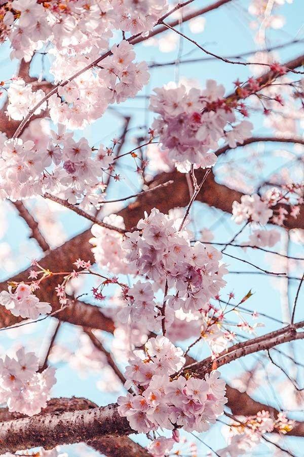Pin By Dumebi Okoisama On Iphone Wallpapers Cherry Blossom Wallpaper Flower Aesthetic Sakura Cherry Blossom