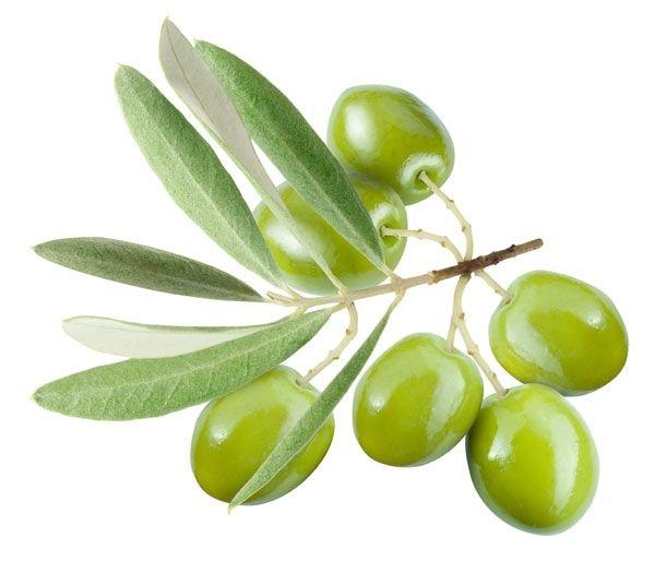 Семена, саженцы ОЛИВКОВОЕ ДЕРЕВО (Olive Bonsai Tree)