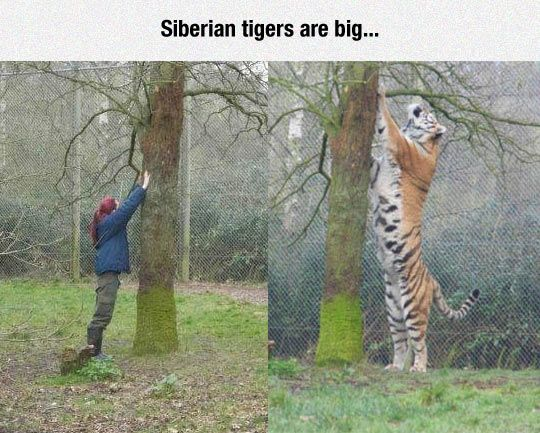 "Aside from ligers, the Siberian Tiger is the largest ""big cat"".  This tree demonstrates that perfectly.  Now realize that a liger is even bigger than this!"