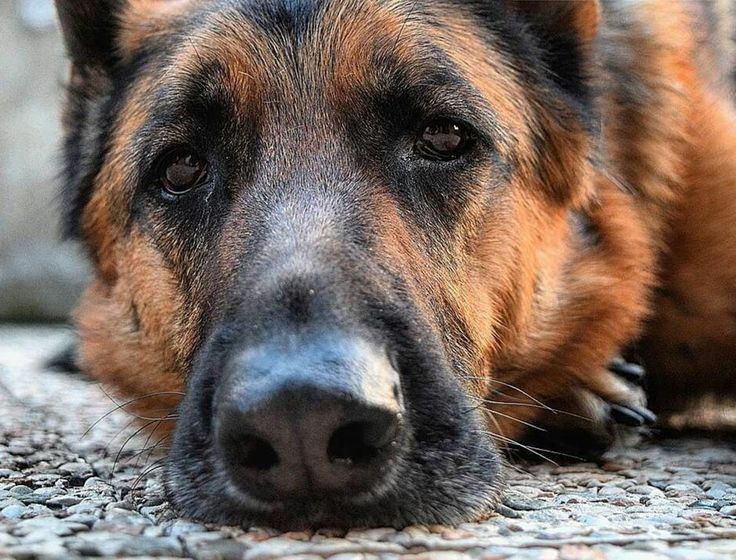 Quando il tuo umano non ti da l'ultimo pezzetto del panino che sta mangiando  #BauSocial  Foto di: @sere_frange  Oh no è Lunedì! Ritorniamo a dormire! Buongiorno!   #instamood #instagood #dogitaly #instapuppy #instaphoto #puppy #igdog #iggsd #igerdog #gsdpage #instamood #instagram #cane #germansherpherd #instadog #instagsd #gsdsofigworld #gsdcommunity #dogsofinstagram #k9 #ilovegermanshepherd #gsd #germanshepinsta #gsdloverss  #gsdmalinoislove #gsdstagram  #dogs #dog