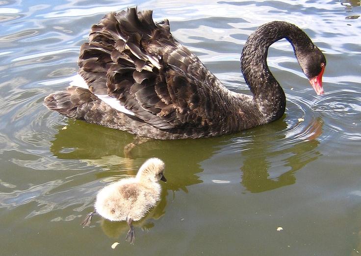 Centennial Park Black Swan & Chick
