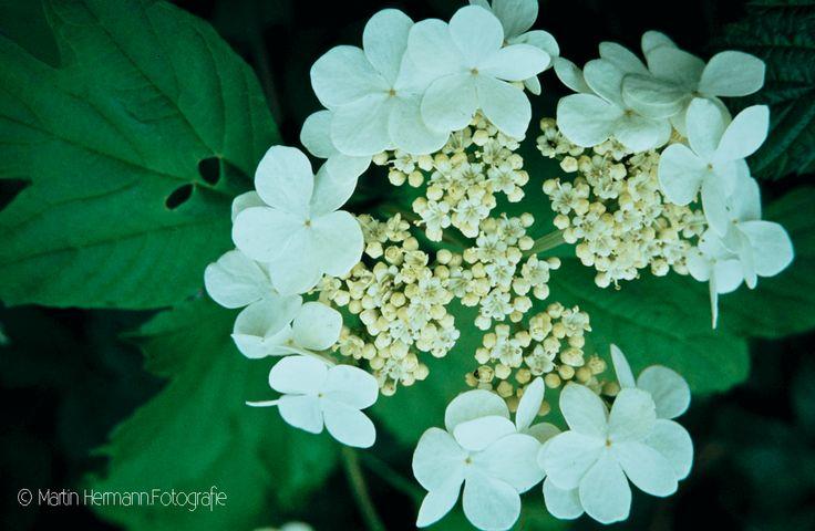 Gewöhnlicher-Schneeball-viburnum-opulus-(Auvergne-1981)