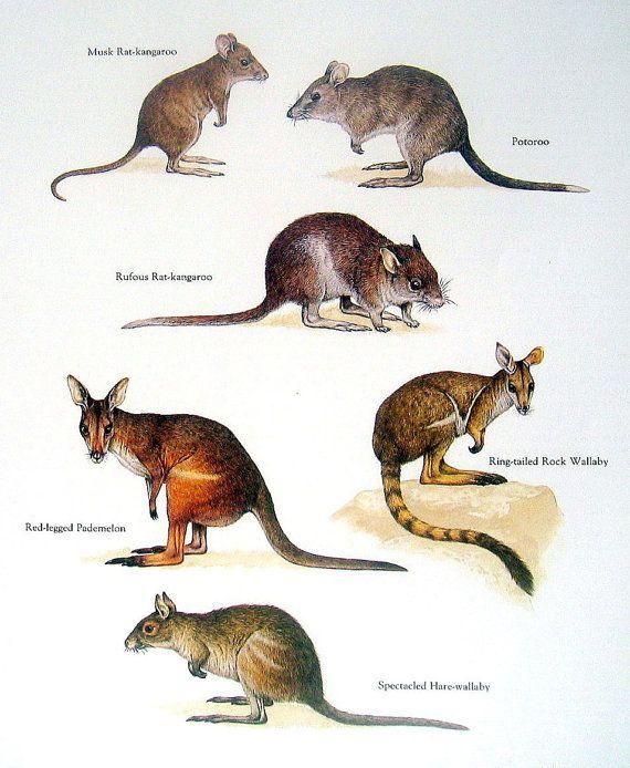 Kangaroos - Musk Rat Kangaroo, Rufous Rat Kangaroo, Potoroo, Red Legged Pademelon - Vintage 1980s Book Plate Page