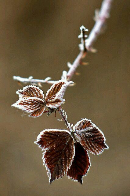 More beautiful, frozen, and frosty tipped leaves, idk why but there's just something about this photo that i just love.