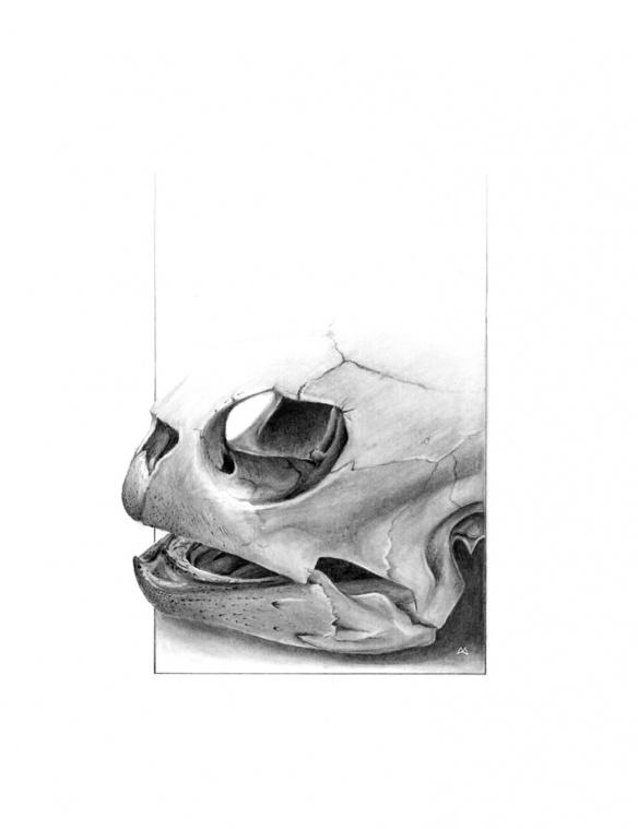 Crâne de tortue // Crayon plomb