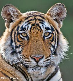 Panthera   Programs   Save the Tiger Fund