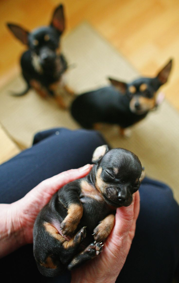 Just Born Newborn Chihuahua : newborn, chihuahua, World's, Smallest, (Maybe), Chihuahua, Puppies,, Animals,