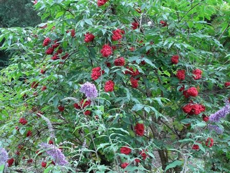 Red elder berries and buddleia flowers