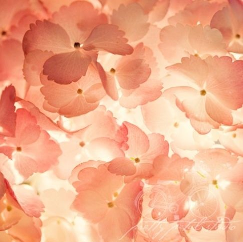 peach colored flower petals wallpaper; pink touches * layered * transparent *