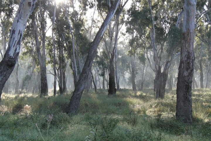 Gum Trees on the Murray River, Australia by LD Photos