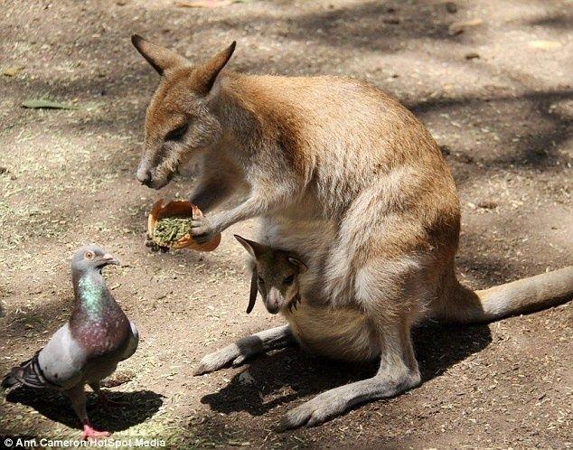 amor da mamãe canguru não é só para o filhote.
