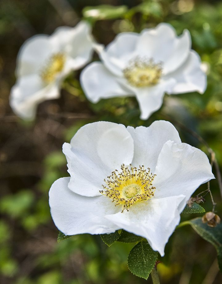 17 best images about cherokee rose on pinterest rose for Cherokee rose