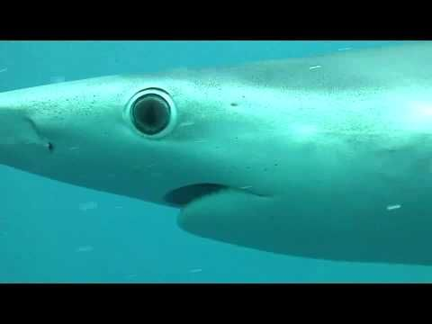 Blue sharks off Cape Point