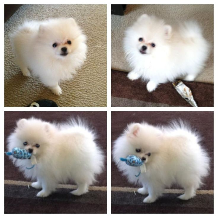 White Pomeranian puppies for sale by The Bomb poms. See our website at http://www.thebombpoms for more info about Pomeranians.