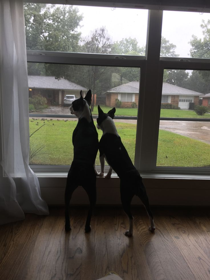 Water receded. Hurricane Harvey gone. Winston and Nina looking at neighbors and birds out on the lawns.
