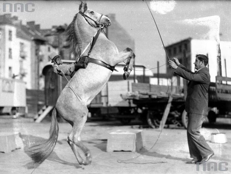 Cyrk Staniewskich w Krakowie, tresura konia, lipiec 1931, fot. NAC - photo 8