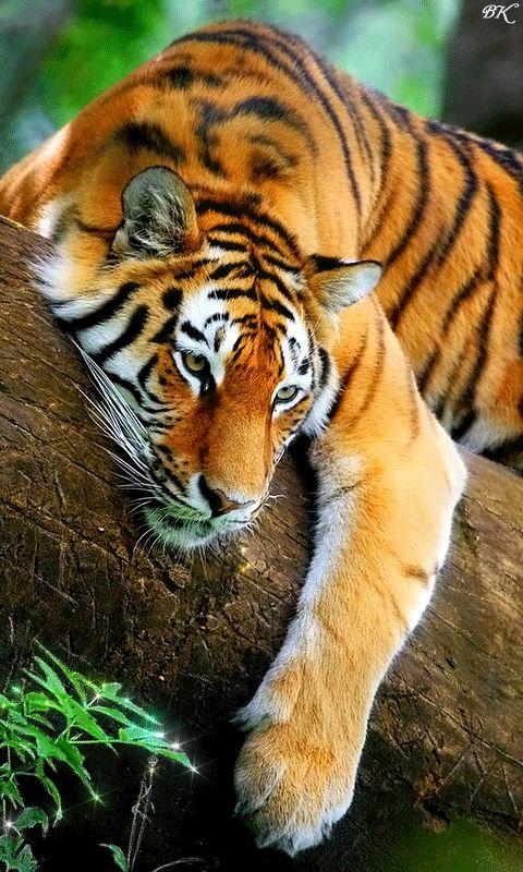 Красавец тигр - анимация на телефон №1061971