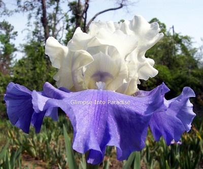 Stairway to Heaven - Tall Bearded Iris
