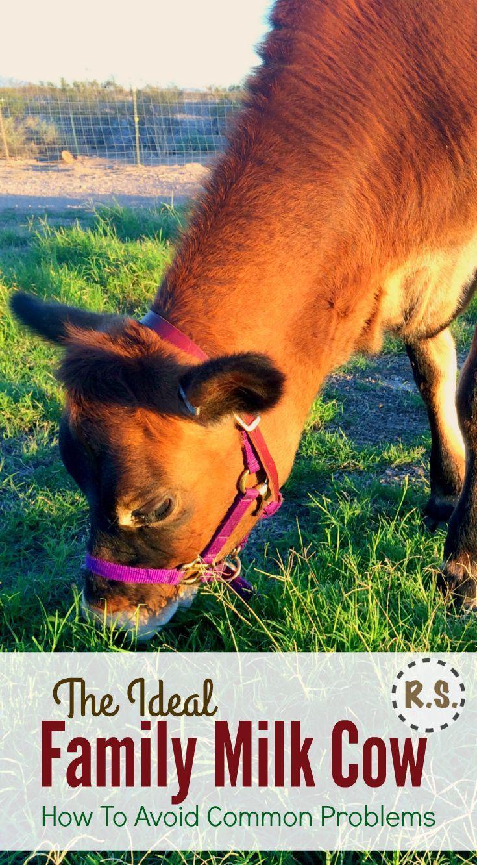 132 best cow love images on pinterest backyard farming cow