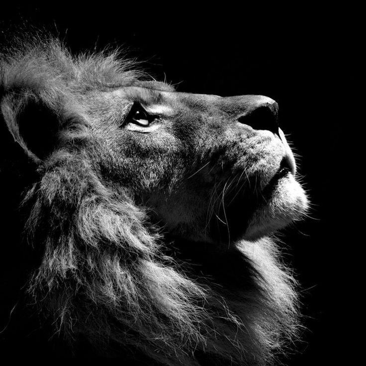 http://ipadwallpaper.net/uploads/wallpapers/2012/02/1246-black-lion.jpg